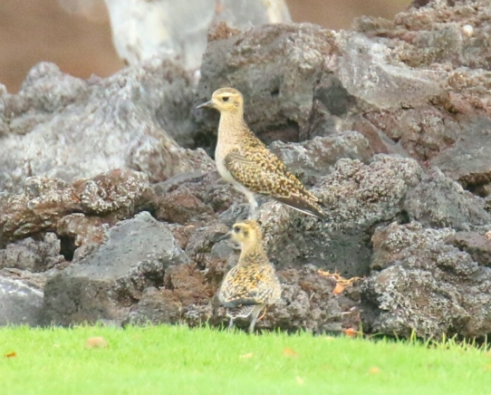 Stacked Golden Plovers