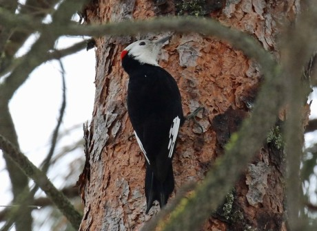 White Headed Woodpecker