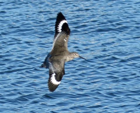 Willet Wings2