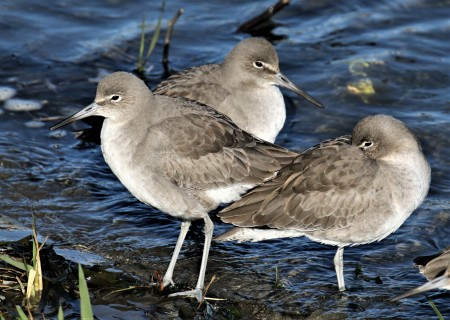 Willets1