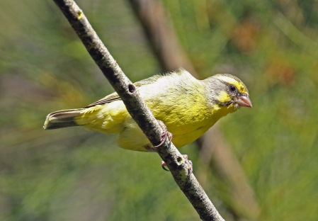 Yellow Fronted Canary1