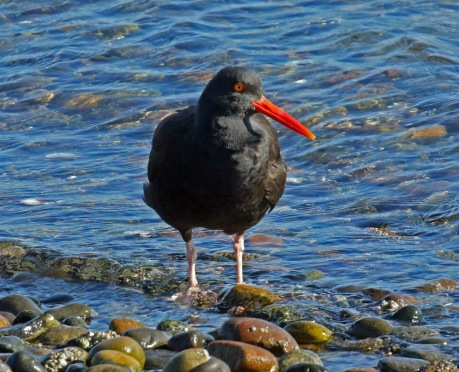 Black Oystercatcher1