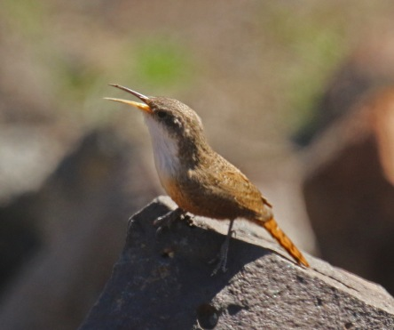 Canyon Wren2