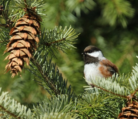 Chestnut Backed Chickadee2