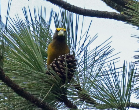 Evening Grosbeak6