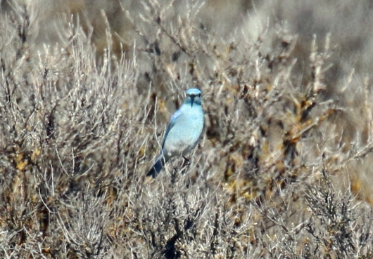 mountain-bluebird.jpg
