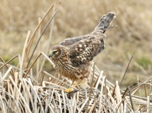 Northern Harrier Perched