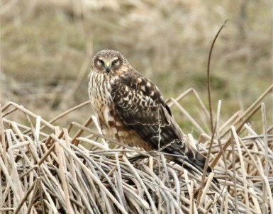 Northern Harrier Perched1
