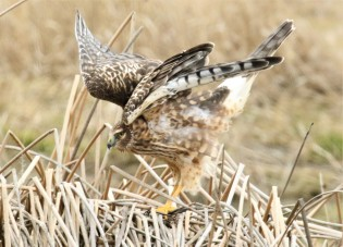 Northern Harrier Wings Out