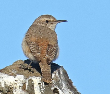 Rock Wren Looking Right1