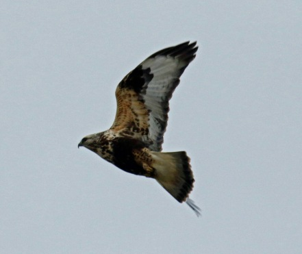 Rough Legged Hawk Flight2