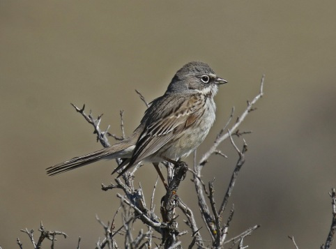 Sagebrush Sparrow1