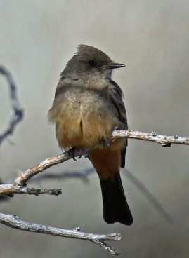Say's Phoebe Vertical