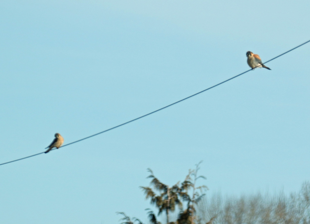 two-kestrels.jpg