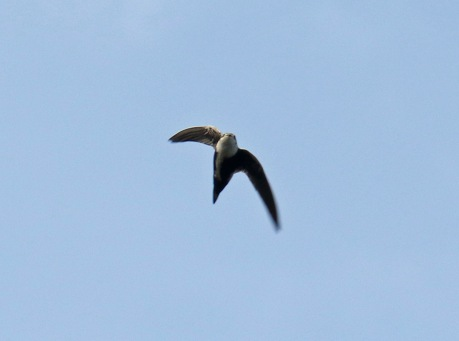 White Throated Swift3