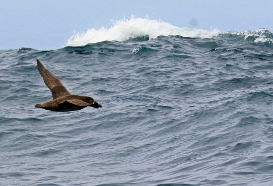 Black Footed Albatross Wave