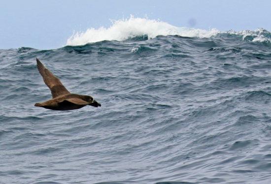 Black Footed Albatross Wave