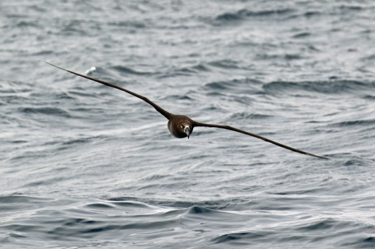 Black Footed Albatross1