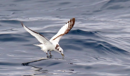 Black Legged Kittiwake1