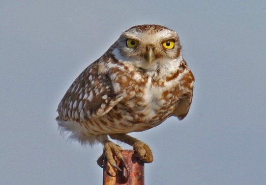 Burrowing Owl Post Horizontal