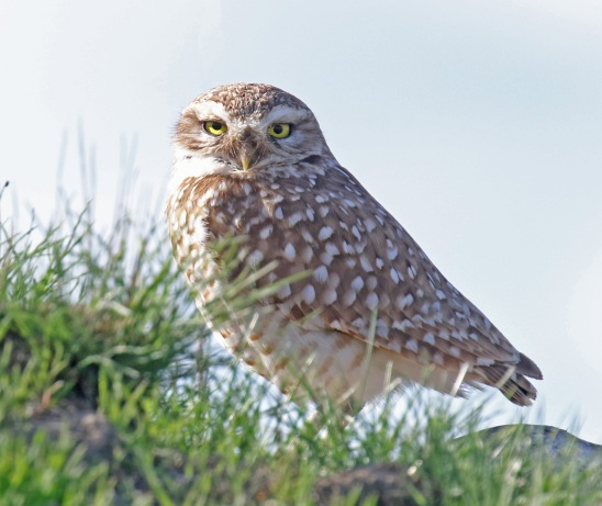 Burrowing Owl1