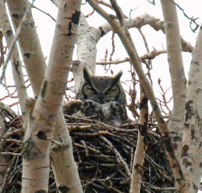 Great Horned Owl on Nest 1