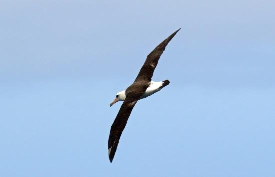 Laysan Albatross (2)