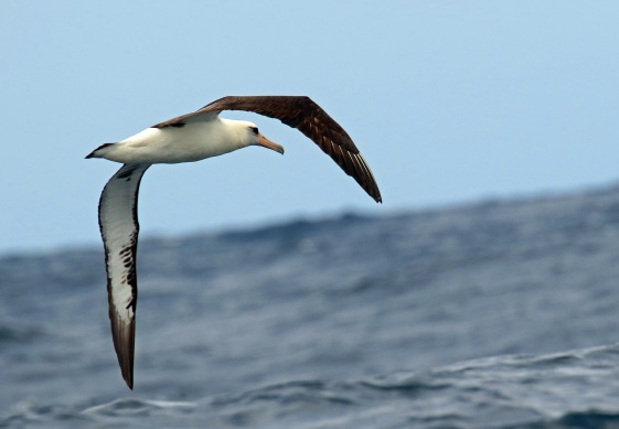 Laysan Albatross2