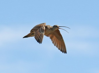 Long Billed Curlew Flight Wings Down1