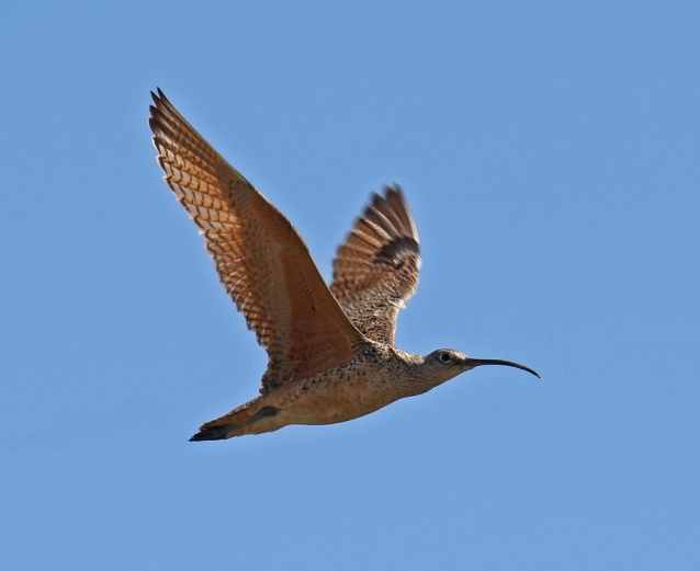 long-billed-curlew-flight-wings-up1.jpg