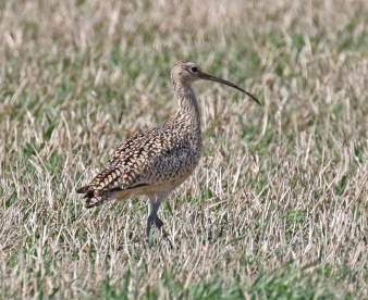 Long Billed Curlew Ground
