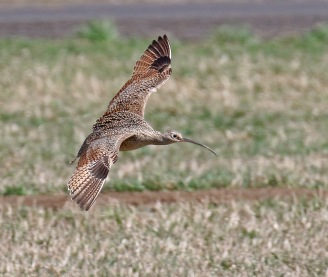 Long Billed Curlew Landing