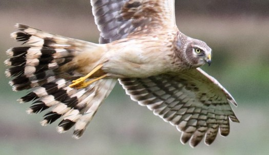 Northern Harrier2 (2)