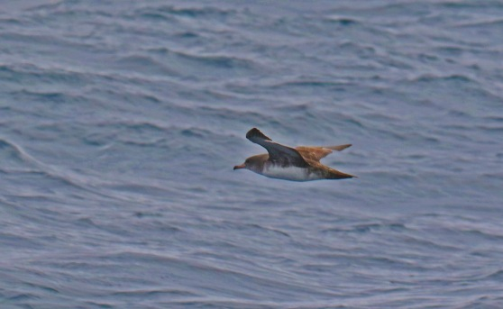 Pink Footed Shearwater1