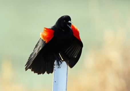 Red Winged Blackbird (3)