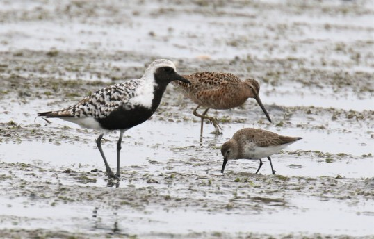 Shorebird Threesome