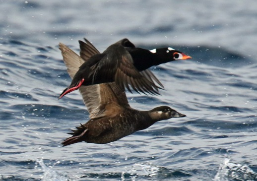 Surf Scoters (2)