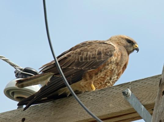 Swainson's Hawk1
