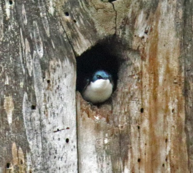 Tree Swallow in Nest Hole1