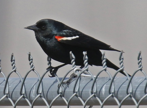 Tricolored Blackbird1