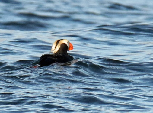 Tufted Puffin2