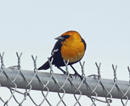 Yellowheaded Blackbiird