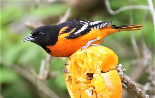 Baltimore Oriole on Orange