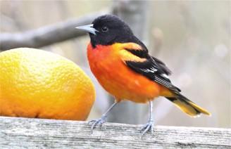 Baltimore Oriole with Orange