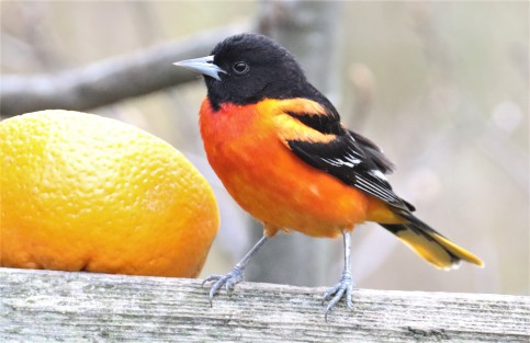 Baltimore Oriole with Orange