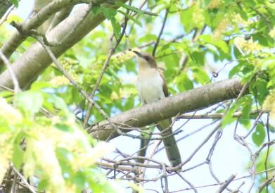 Black Billed Cuckoo