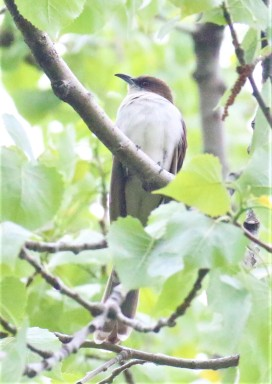 Black Billed Cuckoo1