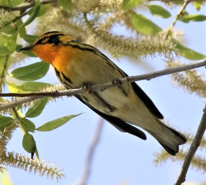 Blackburnian Warbler1 (2)