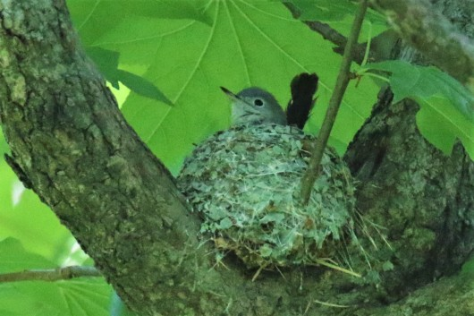 Blue Gray Gnatcatcher on Nest