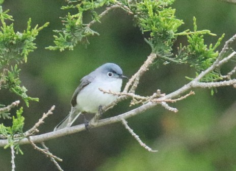 Blue Gray Gnatcatcher1 - Copy